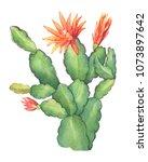 Flowering Cactus Schlumbergera...