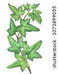 green branch hedera nepalensis  ... | Shutterstock . vector #1073899055