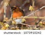 portrait of a robin  erithacus...   Shutterstock . vector #1073910242