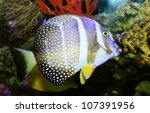 Small photo of Mustard Guttatus Tang (Acanthurus guttatus)