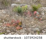 red prickly pear cactus in... | Shutterstock . vector #1073924258