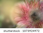 colorful of gerbera | Shutterstock . vector #1073924972