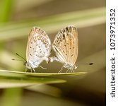 Small photo of Love couple butterfly, mating pair of butterflies, close up. Island Bali, Indonesia