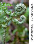 Small photo of A closeup shot of a green fiddlehead fern frond in springtime.