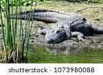 american alligator scientific... | Shutterstock . vector #1073980088