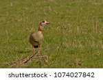 Single Egyptian Goose Standing...