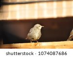 young starling sitting on a... | Shutterstock . vector #1074087686