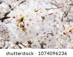 cherry blossom branch. flower... | Shutterstock . vector #1074096236