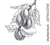 Garden Fruit Plum Engraving...