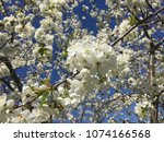 cherry blossom. white cherry... | Shutterstock . vector #1074166568