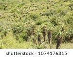 Many Wild Aloe Plants On The...