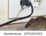 closeup mouse sits near chewed... | Shutterstock . vector #1074191432