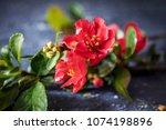 pink tree flowers spring... | Shutterstock . vector #1074198896