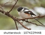 a fiscal shrike on a thorn... | Shutterstock . vector #1074229448