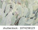 Field Of Opuntia Humifusa...