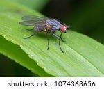Small photo of Small wild fly,Coenosia sp.
