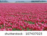 Stock photo field of red roses 107437025