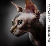 portrait of a sphynx on a dark... | Shutterstock . vector #1074391772