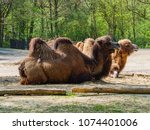 camels in the zoo | Shutterstock . vector #1074401006