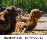 camels in the zoo | Shutterstock . vector #1074401012