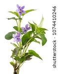 Beautiful Violet Spring Viola...