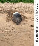 hawaiian monk seal headshot   Shutterstock . vector #1074464336