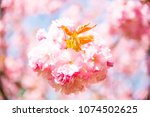 cherry blossoms trees | Shutterstock . vector #1074502625