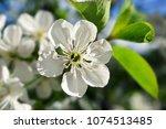 white spring flowers. cherry...   Shutterstock . vector #1074513485