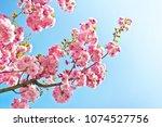 beautiful almond tree flowers...   Shutterstock . vector #1074527756