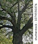 oak tree with beautifully...   Shutterstock . vector #1074550376