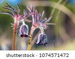 closeup spring wild prairie...   Shutterstock . vector #1074571472