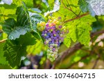 The Nature Of Ripening Grapes