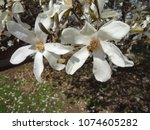 closeup of beautiful white tree ...   Shutterstock . vector #1074605282