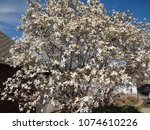 blossoming tree with beautiful...   Shutterstock . vector #1074610226