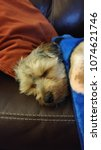Small photo of Yorkipoo Snuggling in a Blanket