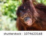bornean orangutan playing and... | Shutterstock . vector #1074623168