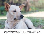 brown dog waiting for the owner ... | Shutterstock . vector #1074628136