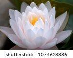 closeup white lotus or white...   Shutterstock . vector #1074628886