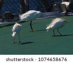 little egret with cattle egrets ... | Shutterstock . vector #1074658676