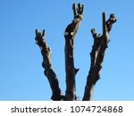 benevento   newly planted trees ... | Shutterstock . vector #1074724868