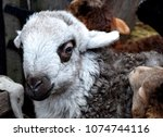 Small photo of The fat-tailed sheep is a general type of domestic sheep known for their distinctive large tails and hindquarters. These small lambs are representatives of this breed