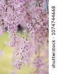 sakura blooming in spring at... | Shutterstock . vector #1074744668