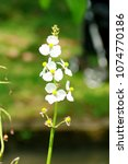 white wildflower in bogor...   Shutterstock . vector #1074770186