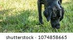 Black Labrador Retriever...