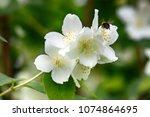 syringa  philadelphus   is... | Shutterstock . vector #1074864695