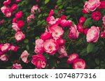 Stock photo garden with fresh pink roses floral natural hipster vintage background 1074877316