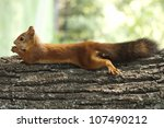 Stock photo red squirrel lying on the tree 107490212