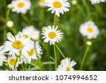 flowers  flowers chrysanthemum  ... | Shutterstock . vector #1074994652