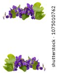 Small photo of Voila flowers isolated on white.Floral background,spring flowers greeting card