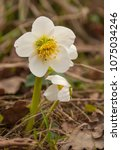Small photo of White hellebore flower in dry grass of last year.
